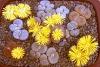 lithops_dish_garden_pic4.jpg