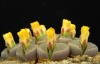 Живи камъчета - Lithops  media_site_imaj_Lithops_olivacea_f.jpg
