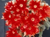 Lobivia_silvestrii_flowers1.JPG