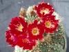 Lobivia_telgeliana_flowers.JPG