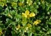 Lysimachia-nummularia-flowers.JPG