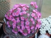 Last comments Mammillaria1.jpg