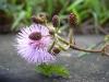 Mimosa_pudica.jpg