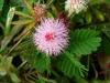 mimosa_pudica2.jpg