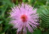 mimosa_pudica2~0.jpg