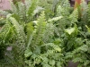 Нефролепис - Nephrolepis boston_fern.jpg