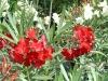 Nerium_Oleander_-_Red.jpg