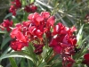 Nerium_oleander_Little_Red-1.jpg