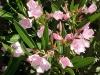 Nerium_oleander_Petite_Pink-2.jpg