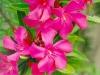 oleander-03-big1.jpg