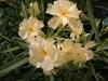 oleander05.jpg