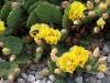 Cactus_Opuntia_20060702.jpg