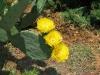 opuntia_flowers.JPG