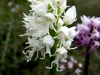 Маймунска орхидея - Orchis simia observer Orchis_simia.jpg