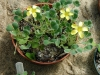 Most viewed BelleWood_Oxalis_yellow.jpg
