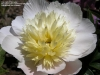 Божур - Paeonia  Moonglow_1117228781_590.jpg