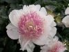 Paeonia_Do_Tell.jpg