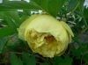 Божур - Paeonia  Paeonia_Yellow_Crown.JPG