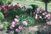 Божур - Paeonia  Paeonia_hybrids_in_bloom.jpg