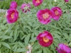 paeonia_mascula_arietina1.jpg