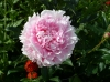 peony.jpg