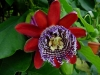Top rated - Пасифлора - Passiflora Passiflora.jpg