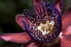 Top rated - Пасифлора - Passiflora Passiflora10.jpg