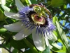 Top rated - Пасифлора - Passiflora Passiflora16.jpg