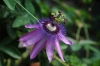 Top rated - Пасифлора - Passiflora Passiflora18.jpg