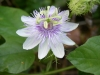 Top rated - Пасифлора - Passiflora Passiflora19.JPG