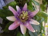 Top rated - Пасифлора - Passiflora Passiflora2.jpg