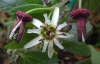 Top rated - Пасифлора - Passiflora Passiflora4.jpg