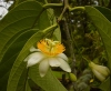 Top rated - Пасифлора - Passiflora Passiflora5.jpg