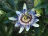 Top rated - Пасифлора - Passiflora Passiflora8.jpg