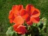 Pelargonium_zonale.jpg