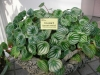 Most viewed Peperomia_sandersii.jpg