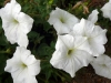 20071003175751!Petunia.jpg