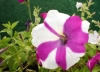 White_pur_petunia.JPG