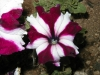 whitestar-petunia_baiRie8a.jpg