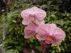PhalaenopsisOrchid.jpg