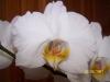 Phalaenopsis_NOID_#3_Birthday_Plant.jpg