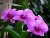 dendrobium-phalaenopsis.jpg