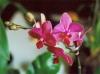 orchidee_phalaenopsis_rot_1.jpg