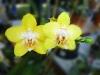 yellow-phalaenopsis-orchid-dsc00935.jpg