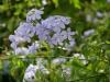 galerie-membre,fleur-plumbago-du-cap,fleurs-bleus.jpg