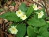 Primula_vulgaris17-04-07.jpg