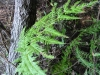 Pteris_chilensis.JPG