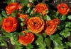 Last additions Ranunculus_asiaticus_4~0.jpg