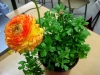 Last additions Ranunculus_asiaticus_5.JPG
