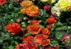 Last additions Ranunculus_asiaticus_7.jpg